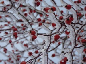 Red Thorn Rose Hip Icy Snow Plant Bush Ice Iced